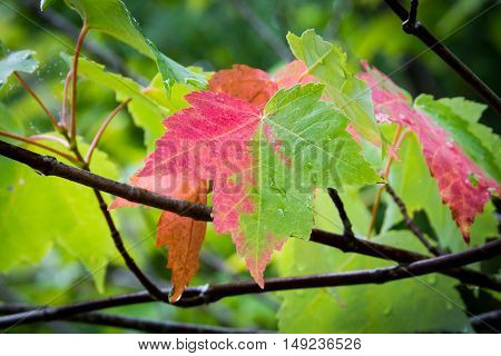 A maple leaf is half-way to transitioning to its fall color near Branch Lake in Ellsworth, Maine.