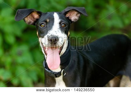Happy dog is a cute excited dog with his tongue hanging out of his mouth and a great big smile on his face.