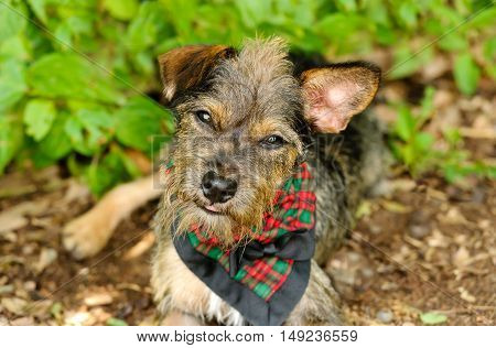 Dog curious is a cute Terrier looking up with love and curiousity in his eyes.