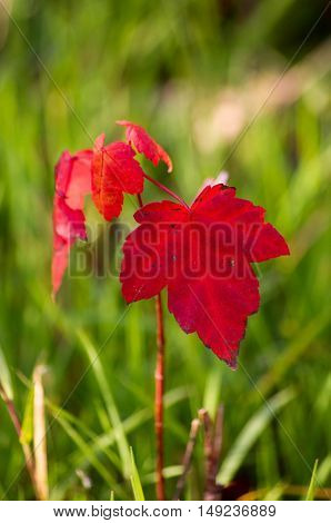 red fall maple leaves with a green background