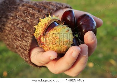 chestnuts - fruits horse chestnut - Aesculus hippocastanum on woman hand; shallow depth of field