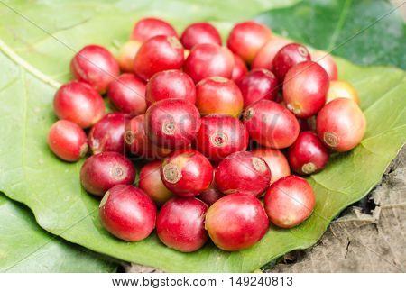 red fresh coffee berries on coffee leaves