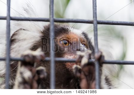 A common marmoset looks through the wires of its enclosure at the Tasmania Zoo