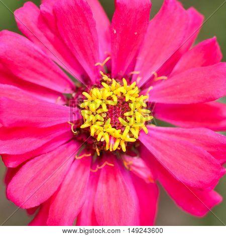 Bright pink zinnias