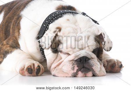 english bulldog sleeping on white background