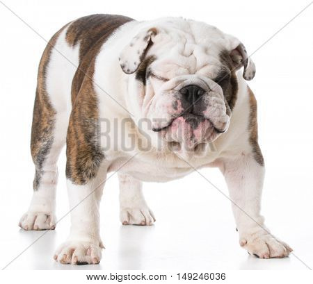 english bulldog puppy with funny expression standing on white background