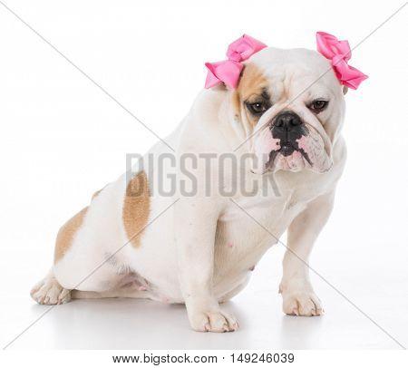 female english bulldog sitting on white background