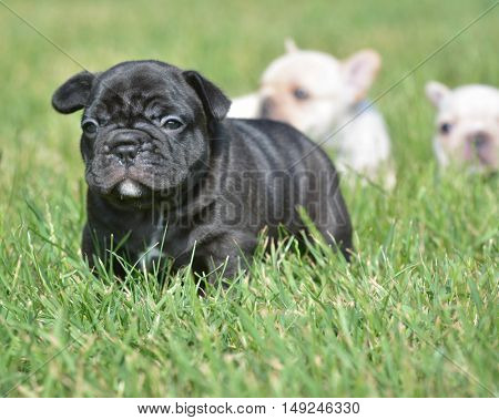 litter of french bulldog puppies outside in the grass
