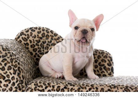 female french bulldog puppy with cute expression