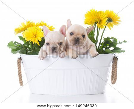 adorable french bulldogs inside a potted plant