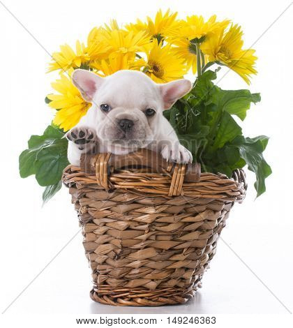 cute french bulldog puppy inside a flowerpot on white background