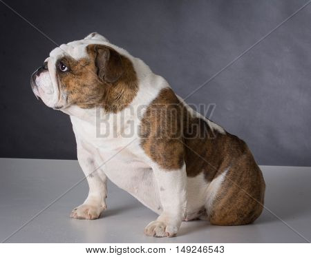 english bulldog puppy sitting on black background