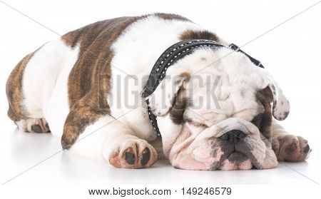 english bulldog with head down sleeping on white background