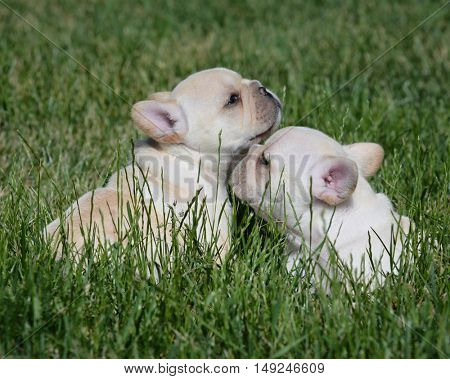 two french bulldog puppies outside in the grass