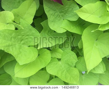 green heart leaves forming beautiful pattern of love