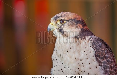 Lanner falcon or Falco biarmicus portrait. Perched
