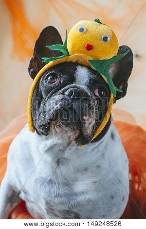 Portrait of dog with diadem of pumpkin for Halloween.
