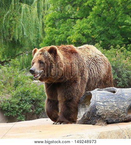 North American Brown Bear, peacefully walking, pacing