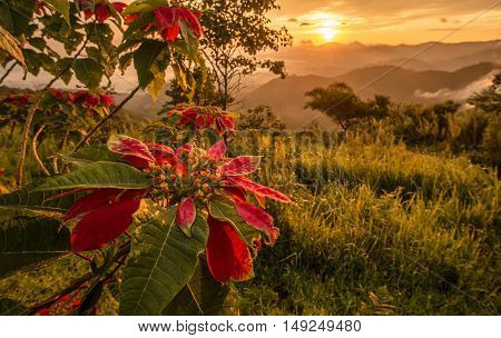 Christmas flowers growth on the mountain with the morning sunrise.