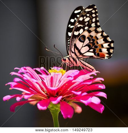 Butterfly on a bright pink flower (focus on butterfly drinking)