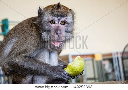 Monkey Eats A Pear