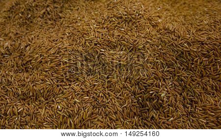 Close up of Paddy rice for Background, Texture, Uncooked Rice