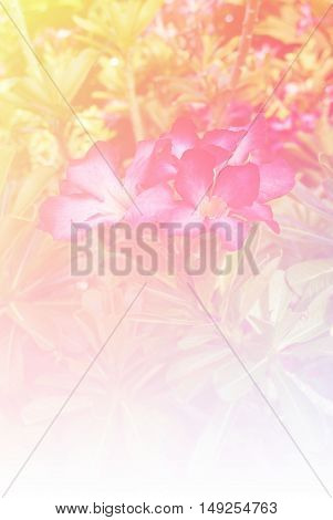 Blurred of Impala Lily flowers blooming. in the pastel color style for background.