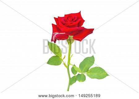 red rose isolated on white background.Saved with clipping path.