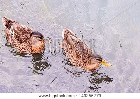 Water Bird Duck