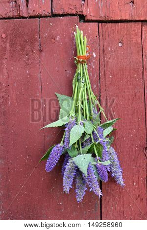 Bunches of anise hyssop Agastache foeniculum herbs hanging on red wooden rustic background
