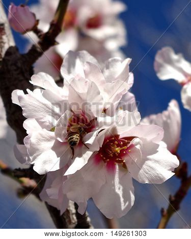 Macro shot of springtime bee pollinating almond tree blossoms