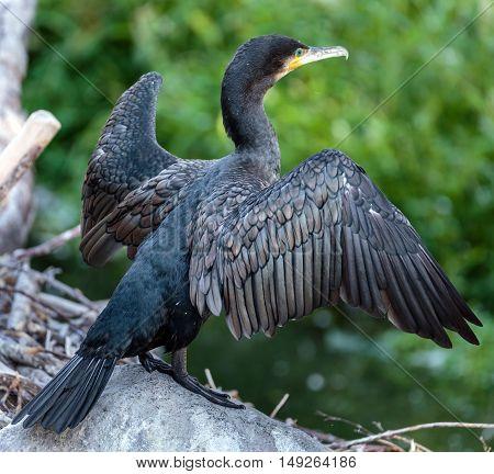 Great Cormorant On A Fallen Tree