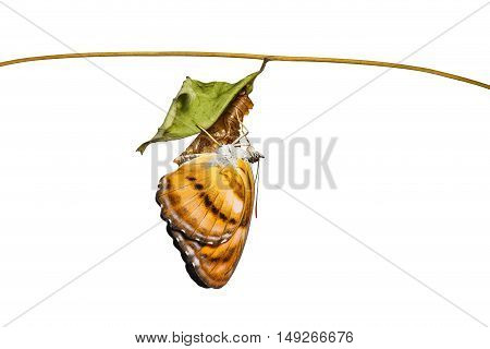 Isolated Colour Segeant Butterfly Hanging On Chrysalis After Emerged