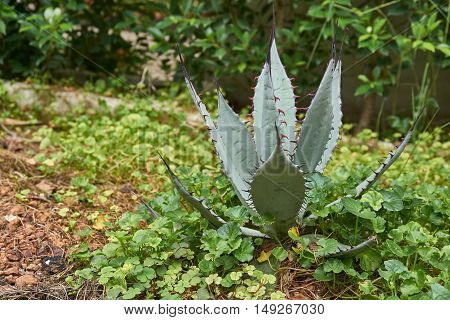 Close up picture of agave plant in the garden