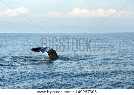 Sperm Whale In The Mediterranean Sea Close Up