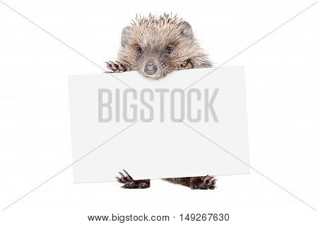 Hedgehog standing with a banner isolated on white background