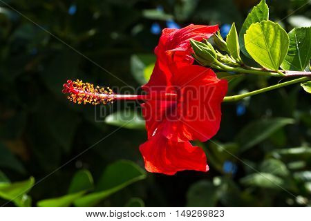 Macro photo oh hibiscus plant. Red color on black background