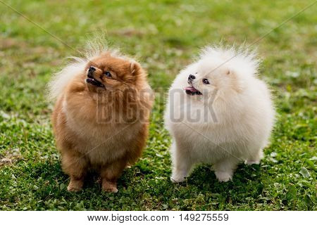 nice red and white Pomeranian spitz dog on the green grass