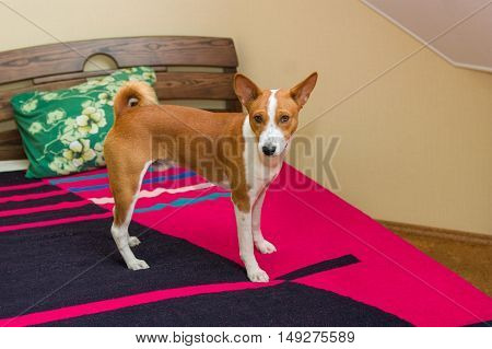 Cute basenji dog standing on a master's bed.