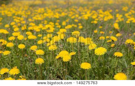blooming yellow dandelions on a spring meadow