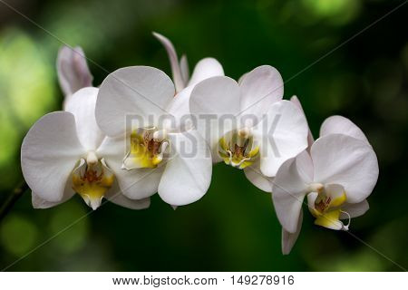 Portrait of orchdaceae flower. Photography of nature.