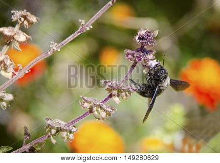 Big bumble bee on purple flower enjoy the nectar