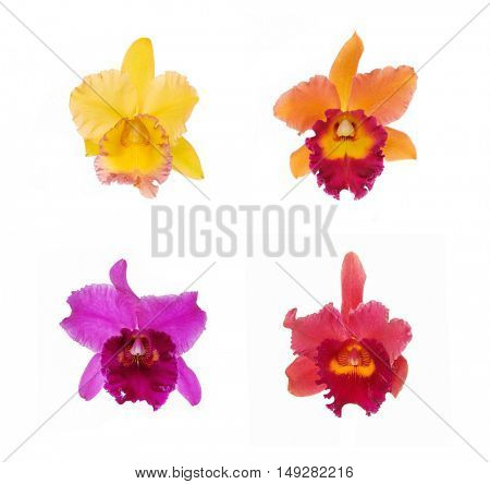 Blossoming four colorful Orchids