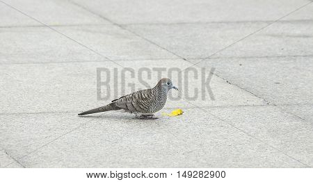close up dove or pigeon bird eating food on tile floor/ground in Thailand.
