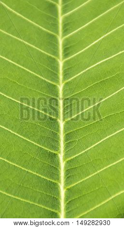 Close up green leaf texture/background. Abstract macro of nature.