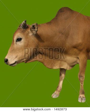 Happy Cow Isolated