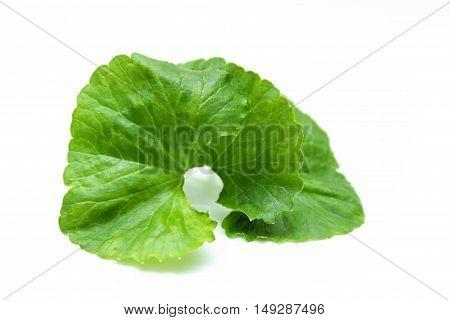 Indian pennywort (Centella asiatica (L.) Urban.) brain tonic herbal plant