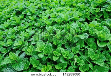 green mint plant grow at vegetable garden
