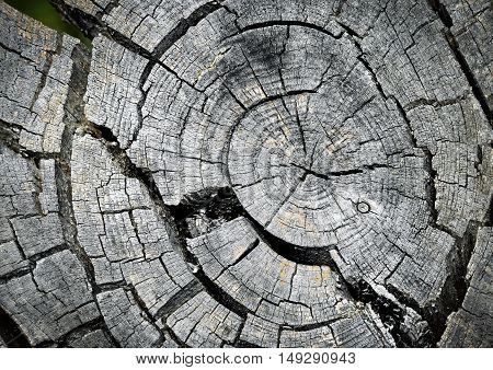 background growth rings on the cut old mountain pine twig