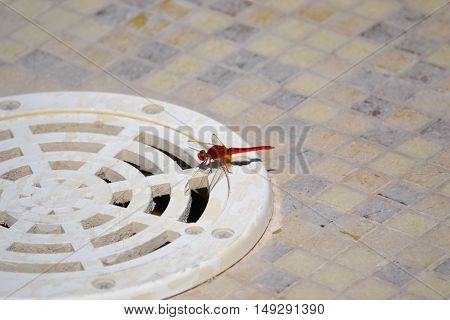 The red dragonfly wants to have a shower